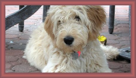 Goldendoodle Acres Your Midwest Goldendoodle Breeder